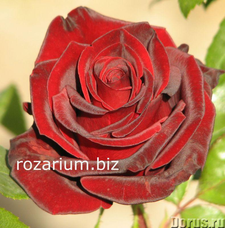 Купить саженцы розы в крыму по оптовым ценам 8 марта цветы что означают