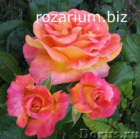 Питомник роз из Крыма - Цветы - Питомник роз Полины Козловой предлагает широкий выбор саженцев роз и..., фото 2