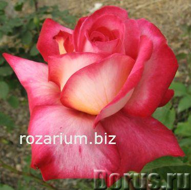 Купить розы козловой натуральные камни самоцветы где можно купить в с-пб
