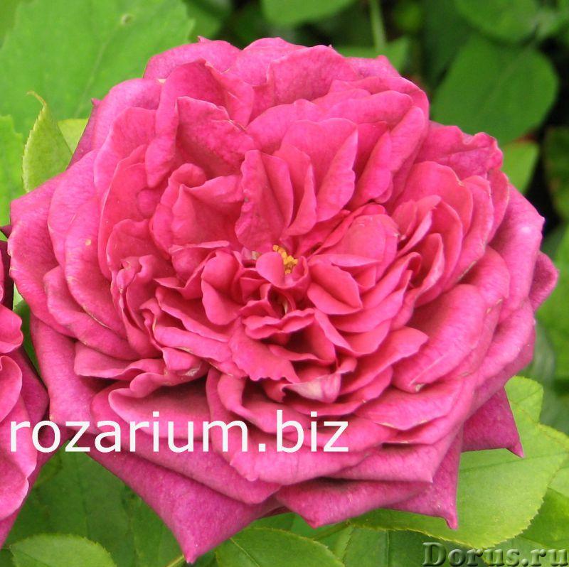 Питомник роз из Крыма - Цветы - Питомник роз Полины Козловой предлагает широкий выбор саженцев роз и..., фото 4